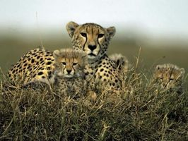 Facteurs biotiques pour une Cheetah