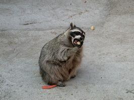 Comment construire un piège Raccoon Box