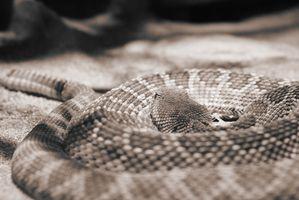 Alimentation d'un serpent à sonnettes