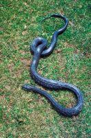 Faits sur le noir Rat Snakes