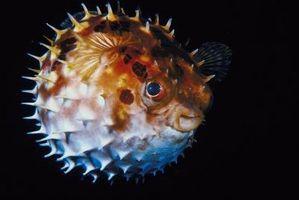 Que fait un poisson-globe Eat?