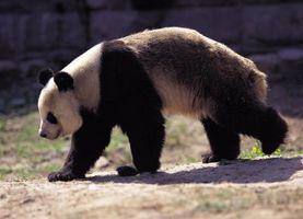 Programmes d'élevage en captivité d'espèces menacées dans les zoos