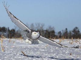 Que font les Owls manger?