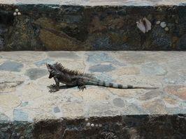 Iguanes Habitat naturel