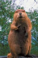 Comment les castors se adapter à leur biome?