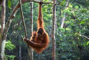 Quelles sont les caractéristiques de l'habitat d'un orang-outan