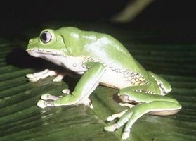 Faits intéressants sur la migration des grenouilles