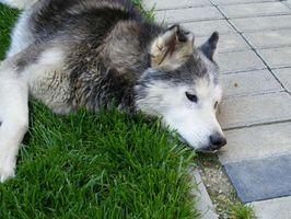 Remèdes naturels pour l'arthrite chez les chiens