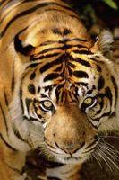 Liste Sous-espèce de tigre