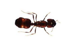 Insectes qui mangent les fourmis
