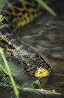 Comment nourrir un Anaconda jaune