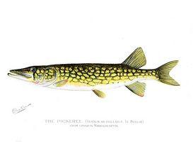Comment Ice poisson pour Pickerel