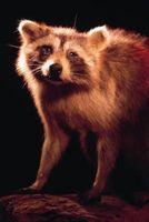 Comment nettoyer un Raccoon latrines