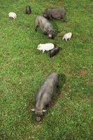 Dans quel type d'endroits peuvent porcs vivants?