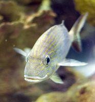 Comment puis-je faire Aquarium Fish poussent plus vite?