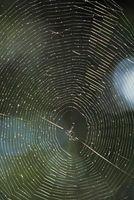 Araignées autochtones en Virginie-Occidentale