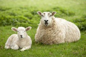 Un guide pour la dissection des yeux de mouton
