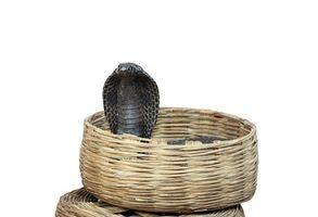 Cobra Caractéristiques