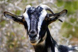 Comment faire pour contrôler interne et externe parasites dans Chèvres