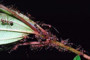 Quel type de Ant Eats termites?
