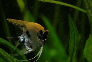 Quel type de poisson d'eau douce peut être logé Avec Angel Fish?