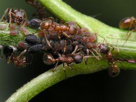 Que font les fourmis mangent?