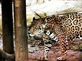 Comment dessiner un chat Jaguar