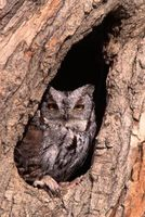 Comment prendre soin de nidification Screech Owls