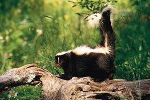 Comment un Skunk ne survit à l'état sauvage?