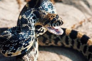 Différence entre Gopher Snakes & Bull serpents