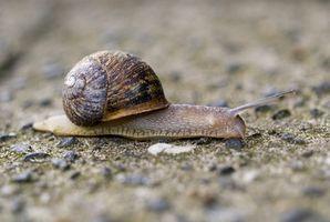 Comment les Escargots Récoltés?
