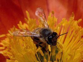 Comment faire du sucre eau pour les abeilles