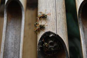 Comportement des Wasps
